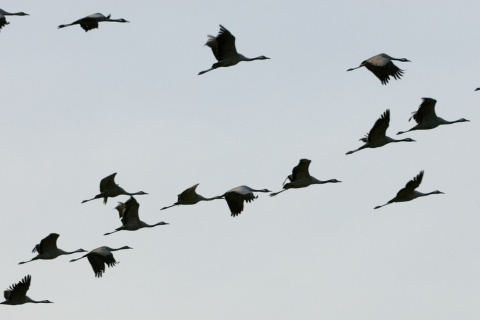 Cranes at the International Ornithological Tourism Fair