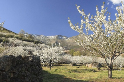 Cherry trees in bloom in the Jerte valley in Cáceres (Extremadura)