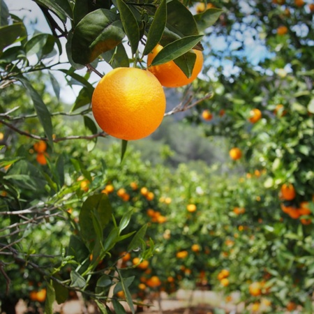 Orange grove in Valencia