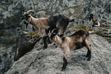 Goats in the Picos de Europa