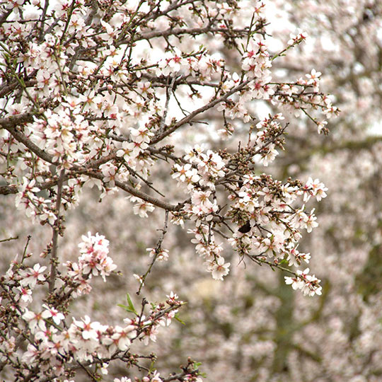 Detail of the flowering of the almond trees in Mallorca.