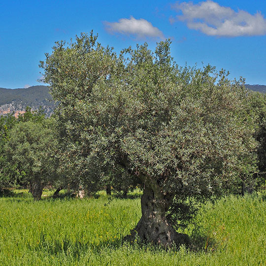 Olive grove in Mallorca