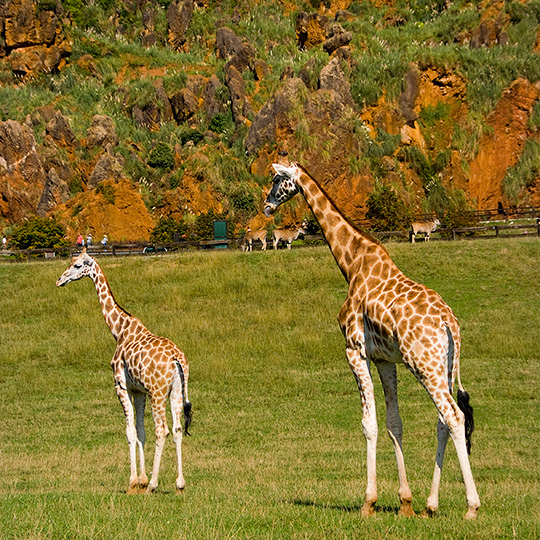 Giraffes in Cabárceno Natural Park