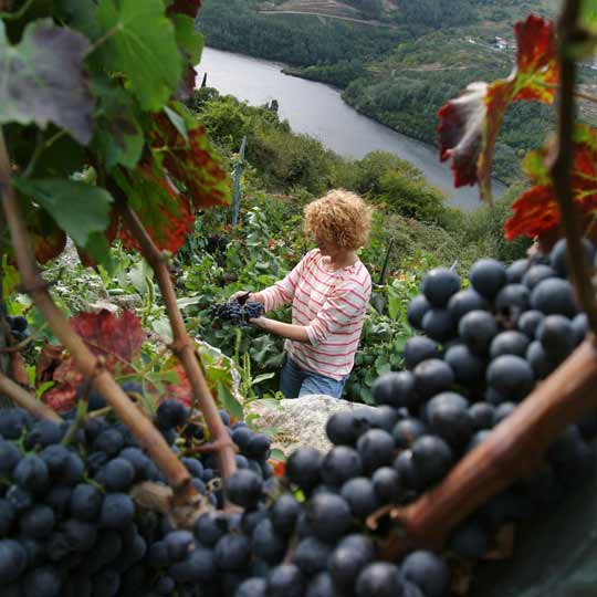 Grape harvest in the Ribeira Sacra, Galicia