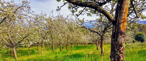 Apple trees in Nava. The Cider District. Asturias