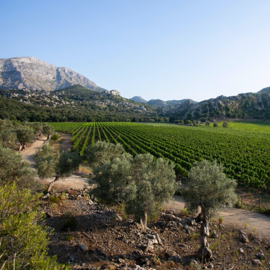 Views of vineyards in the north of the island of Mallorca