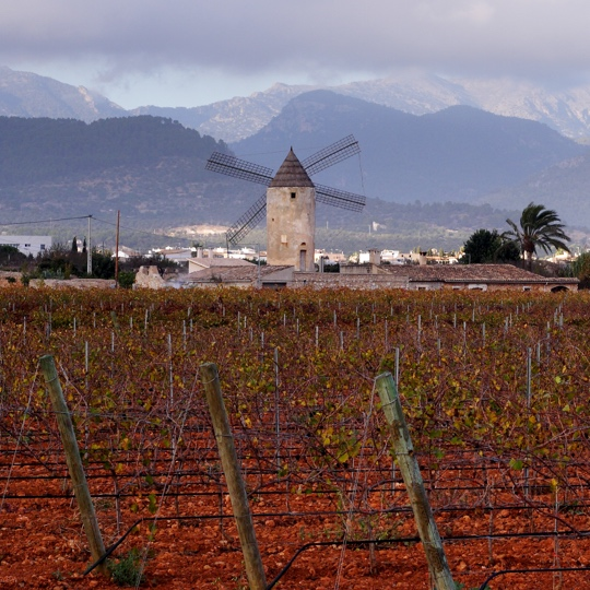 Vineyards at the foot of the Sierra de Tramuntana mountains in Binissalem, Mallorca