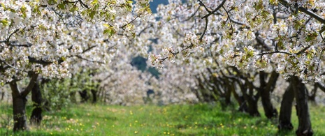 Cherry trees in bloom in the Caderechas Valley. Burgos
