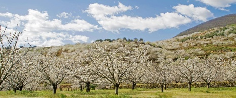 Cherry trees in the Jerte Valley Cáceres