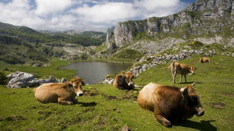 Cows in the Picos de Europa National Park